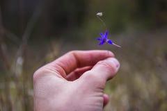 Mão da criança pequena com opinião do close up da flor da margarida Foto de Stock