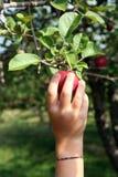 Mão da criança pequena que alcanga até a picareta uma maçã imagens de stock