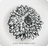 Mão da flor do crisântemo desenhada. Illustrati do vetor ilustração royalty free