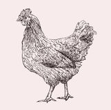 Mão da galinha tirada Imagem de Stock