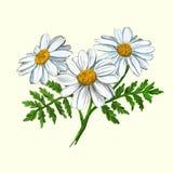 Mão da ilustração de Daisy Vetora tirada pintada ilustração stock