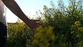 Mão da jovem mulher que passa através de um campo selvagem do prado Mão fêmea que toca no close-up das flores selvagens filme