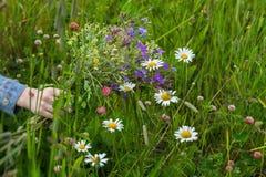 Mão da menina com o ramalhete de wildflowers bonitos no fundo do prado com camomilas, trevo do verão Conceito de Fotografia de Stock