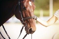 A mão da menina guarda o freio de um cavalo de baía com um ponto branco em sua testa imagens de stock royalty free