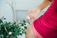 A mão da mulher delicadamente rosas de uma flor Foto de Stock