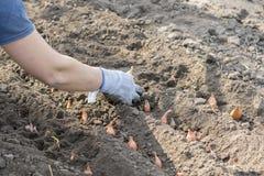A mão da mulher em uma luva põe ao solo de um bulbo de um tipo de flor Jardinagem uma mulher do jardim que põe uma cebola Fotos de Stock Royalty Free