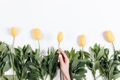 A mão da mulher põe sobre a tabela a tulipa com um botão amarelo Foto de Stock Royalty Free