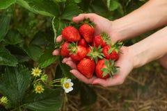 Mão da mulher que guarda o punhado de morangos recentemente escolhidas, licença Fotografia de Stock