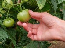 A mão da mulher que guarda tomates verdes no jardim Imagem de Stock Royalty Free