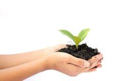 Mão da mulher que guarda uma planta verde pequena da árvore Imagem de Stock Royalty Free