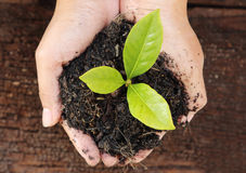 Mão da mulher que guarda uma planta verde pequena da árvore Foto de Stock