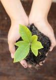Mão da mulher que guarda uma planta verde pequena da árvore Imagens de Stock