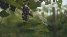 Mão da mulher que pegara a uva vermelha no vinhedo, mo lento video estoque