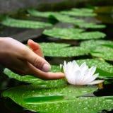 Mão da mulher que toca em um Waterlily em uma lagoa Imagem de Stock Royalty Free