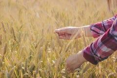 A mão da mulher que toca no trigo foto de stock royalty free