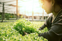 A mão da mulher trava a salada Jardim da alface Fotografia de Stock