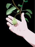 Mão da pera ilustração royalty free