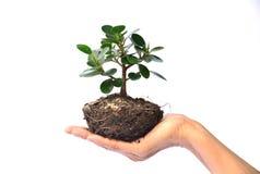 Mão da pessoa que guarda a árvore no isolado branco do fundo Imagem de Stock