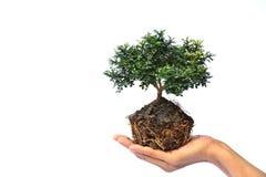Mão da pessoa que guarda a árvore no isolado branco do fundo Foto de Stock Royalty Free