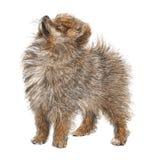 Mão de Pomeranian tirada Foto de Stock