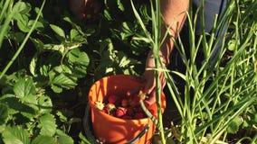 A mão de um homem escolhe uma morango vermelha de um arbusto e põe-na em uma cubeta um fazendeiro colhe uma baga madura a mão do  video estoque