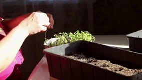 A mão de uma mulher adulta está plantando as plântulas em recipientes com o solo filme