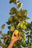 A mão de uma mulher branca arranca uma maçã verde de um ramo com fotos de stock royalty free