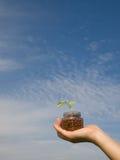 Mão de uma planta da terra arrendada da mulher Foto de Stock Royalty Free
