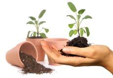 Mão de Womans que prende o Seedling novo da primavera Fotografia de Stock Royalty Free