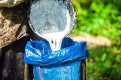 Mão do agricultor que guarda o depósito de leite da árvore da borracha Foto de Stock