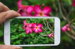 Mão do close up que guarda o smartphone para tomar uma flor da foto no jardim foto de stock