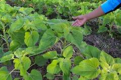 Mão do fazendeiro com girassóis verdes Imagens de Stock