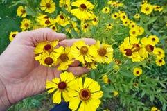 A mão do fazendeiro de primeira geração mantém o outono amarelo brilhante Foto de Stock Royalty Free