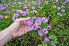 A mão do fazendeiro de primeira geração mantém o outono brilhante roxo Fotografia de Stock