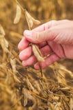 Mão do fazendeiro no campo pronto do feijão da soja da colheita Imagens de Stock