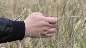 A mão do homem em cereais video estoque