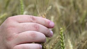 A mão do homem em cereais no verão filme