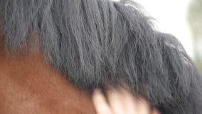 Mão do homem que afaga a juba do cavalo Braço das carícias masculinas do jóquei e garanhão marrom das trocas de carícias na natur filme