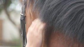 Mão do homem que afaga a juba do cavalo Braço das carícias masculinas do jóquei e garanhão marrom das trocas de carícias na natur video estoque
