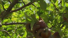 Mão do homem que recolhe a maçã madura da árvore de Apple no jardim no dia ensolarado do verão vídeos de arquivo