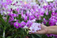 Mão do jardineiro que verifica as flores da orquídea no berçário imagens de stock royalty free