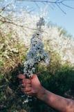 A mão do ` s do homem guarda um ramo com flores de cerejeira Ramo da cereja com as flores brancas que florescem na mola adiantada Imagem de Stock
