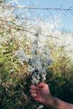 A mão do ` s do homem guarda um ramo com flores de cerejeira Ramo da cereja com as flores brancas que florescem na mola adiantada Fotos de Stock