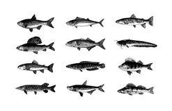 A mão do vetor tirada pesca a ilustração do esboço no fundo branco ilustração royalty free