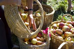 Mão e cestas com maçãs Fotografia de Stock Royalty Free