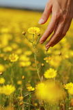 A mão e a flor da mulher Imagens de Stock