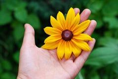 Mão e margaridas amarelas Imagens de Stock
