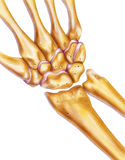 Mão e pulso - ossos & junções fotografia de stock royalty free