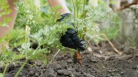 A mão em uma luva preta retira da cenoura à terra Dirija a jardinagem Conceito do alimento saud?vel natural Movimento lento filme