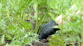 A mão em uma luva preta retira da cenoura à terra Dirija a jardinagem Conceito do alimento saud?vel natural Movimento lento video estoque